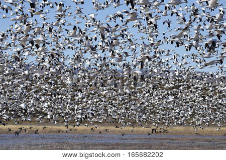 Large Flock of Snow Geese Taking Off from Pond