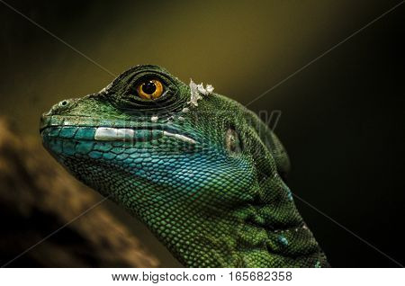 basilisk reptile lizard saurian macro eye animal