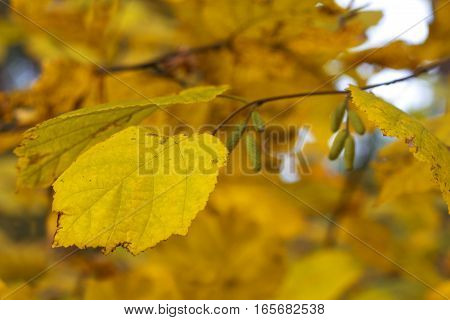 Dry birch leaf on the autumn background