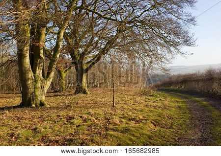 a beech woodland with a curving footpath and a hawthorn hedgerow with hills in a yorkshire wolds landscape under a clear blue sky in winter