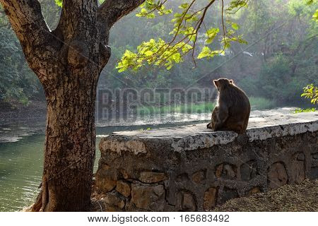 A small wall with a monkey sitting on it besides a tree in India. The animal in pensive pose stares at the river and trees in front of him. The picture is taken from the monkey's backside. The picture has a calm and thoughtfull atmosphere.