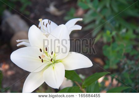 blooming white lily growing in the park.