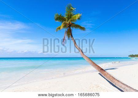 Coconut Palm Grows On Saona Beach