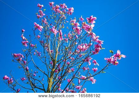 Magnolia Tree With Flowers Over Blue Sky