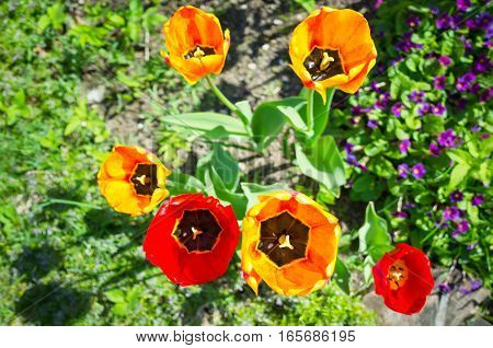 Colorful Tulip Flowers In Spring Garden
