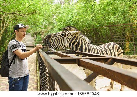 YALTA CRIMEA RUSSIA - JUNE 09.2016: Tourist feeding a Zebra (lat. Hippotigris) at the zoo.