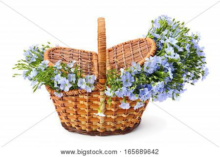 Flax flowers in a wicker basket isolated on white background