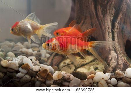 three fish swimming in the home aquarium
