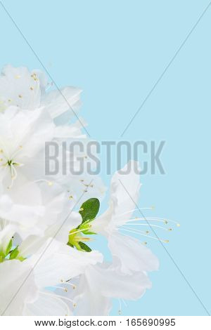Close up of white azalea flower cluster with a light blue background and copy space
