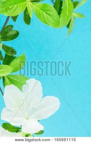 White azaleas and leaves with bright sky blue background and copy space.