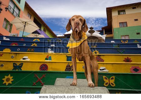 November 14, 2016 Guatape, Colombia: visitor dog in the Plaza de Zocalos in the colourful colonial tourist destination town