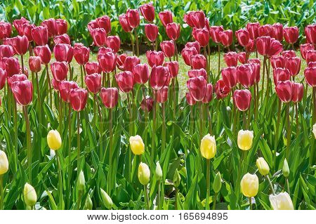 Tulips Flower Bed