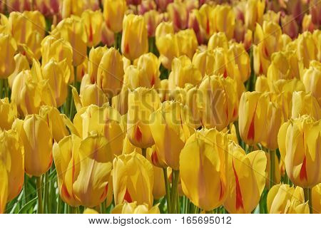 Flower Bed With Yellow Tulips