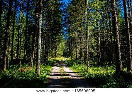Gravel Road through Sunlit Conifer Forest in Austria