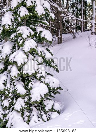 Evergreen tree heavily covered with fresh snow