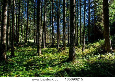 Sunlit Forest with Green Grass in Austria