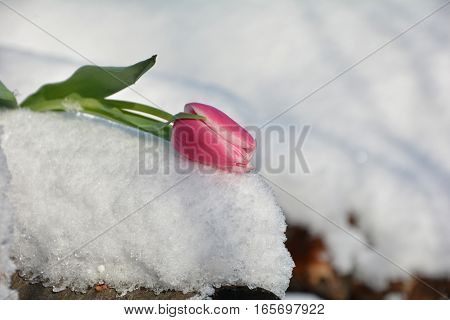 Pink tulip (Tulipa) lies on snowy wooden trunk