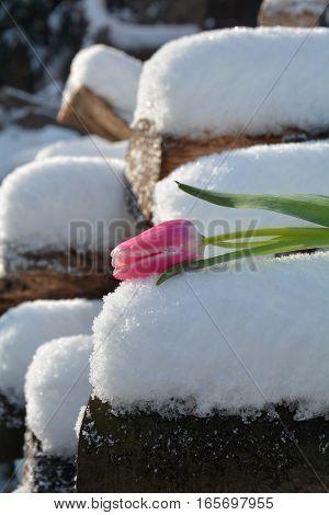 Pink tulip (Tulipa) lies on snowy wooden trunk