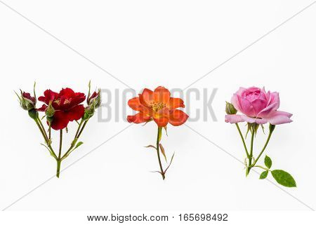 collection of red, pink and orange tea rose isolated on white background