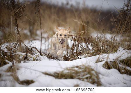 dog of breed Labrador Retriever jumping through the grass