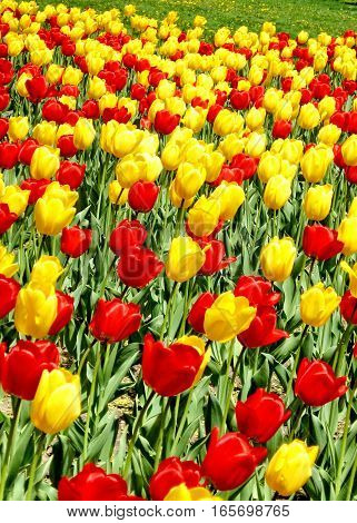 Carpet of tulips in spring in Toronto Ontario Canada May 9 2008