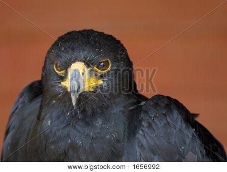 Portrait Of A Verreaux'S Eagle