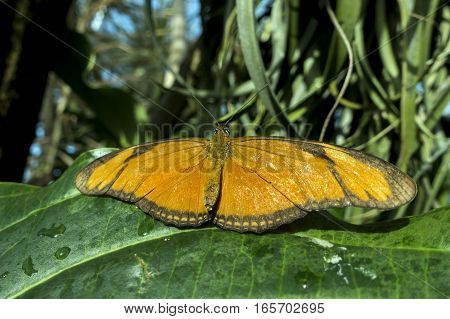 Butterfly Julia, ( Dryas iulia ) ,close up.detail