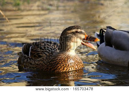 A female mallard duck quacking on a sunny river