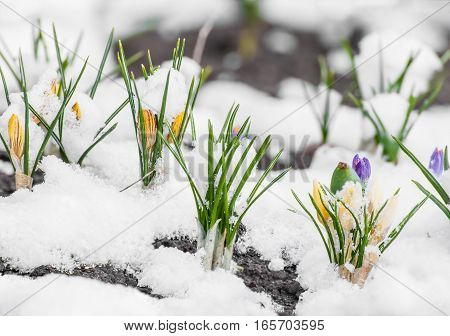 Yellow crocuses growing up through the snow in early spring