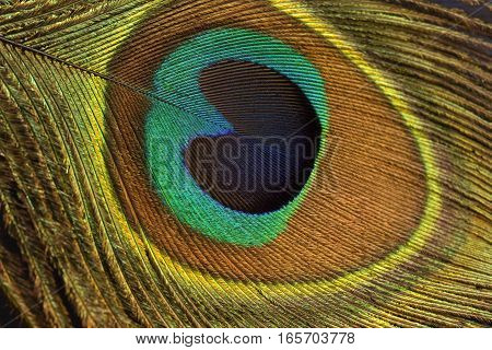 Colorful peacock feather close up as background