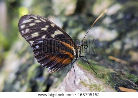 Tiger Heliconian butterfly Heliconius ismenius perching on a rock