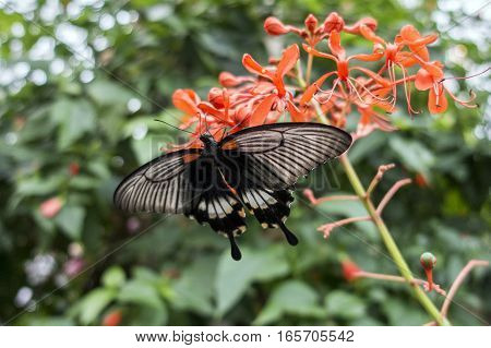 A Crimson Mormon butterfly shows off its colors in the gardens