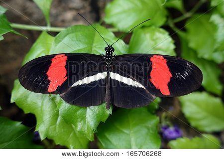 Postman Butterfly (Heliconius melpomene) on a leaf