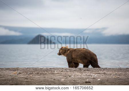 Bear teen caught salmon fish (Kuril lake, Kamchatka, Russia)