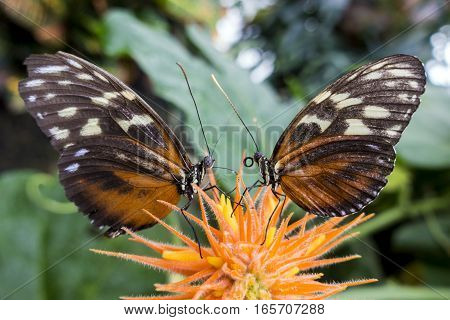 Two Tiger Longwing butterfly Heliconius hecale perching on flower