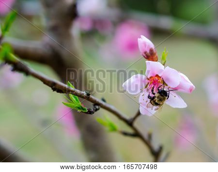 Bumble bee collecting pollen in the springtime sunshine.  Flying insect busy pollinating fruit tree blossom in the garden fruit orchard.