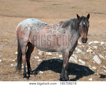 Red Roan mare wild horse in the Pryor Mountain Wild Horse Range in Montana U S A