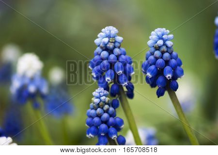 Variegated grape hyacinth blossoms rest against a peaceful green background in springtime.