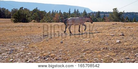Red Roan Wild Stallion walking up Tillett Ridge in the Pryor Mountains Wild Horse Range in Montana USA