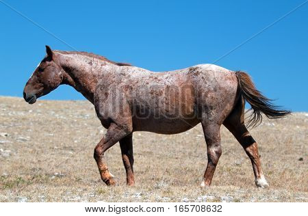 Old cut up Red Roan Stallion wild horse in the Pryor Mountain Wild Horse Range in Montana USA