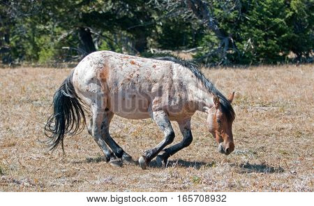 Red Roan Wild Stallion about to roll in the dirt in the Pryor Mountain Wild Horse Range in Montana US