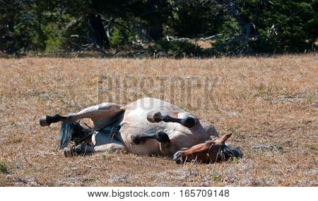 Red Roan Wild Stallion rolling in the dirt in the Pryor Mountain Wild Horse Range in Montana United States