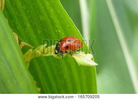 Picture of a seven-spotted ladybug sitting on a plant