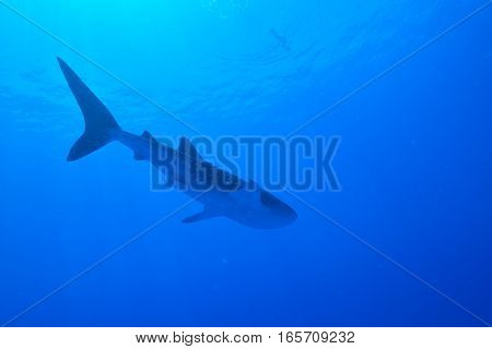 Whale sharks swim slowly and comfortably in the sea.