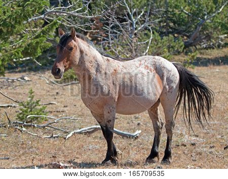 Red Roan Stallion wild horse mustang in the Pryor Mountain Wild Horse Range in Montana USA