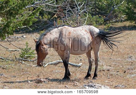 Red Roan Stallion wild horse with tail blowing in the wind in the Pryor Mountain Wild Horse Range in Montana USA