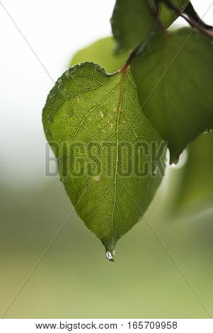 A water drop from a summer rain hangs off the tip of an apricot leaf.