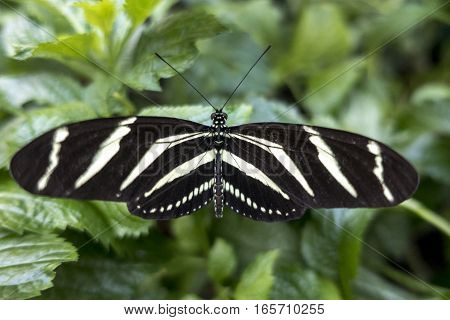 Zebra Longwing, (Heliconius charitonia) - butterfly,close up