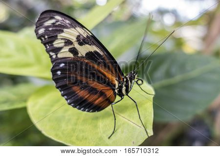 Tiger Heliconian butterfly Heliconius ismenius perching on a leaf