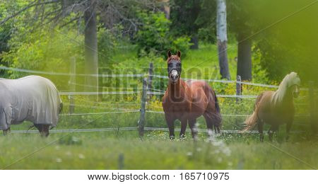 Three horses, two blindfolded, one wearing blanket, grazing & relaxing in springtime summer meadow.  Mesh blindfolds let the horse see whilst protecting the animal's eyes from horsefly bites.